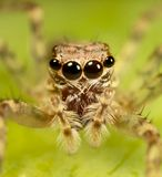 Jumping spider 2 Stock Photos