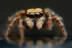 Jumping spider closeup Stock Images