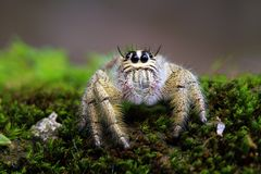 Jumping spider closeup, spider. Spider on moss, closeup face royalty free stock photography