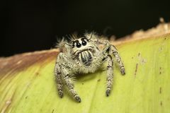 A jumping spider. stock image