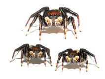 Jumping spider collage Stock Images