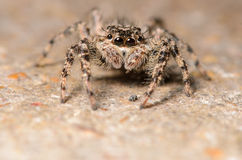 Jumping Spider. Cute Jumping Spider with Large Eyes Stock Image