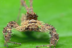 Jumping Spider. Details Of Jumping Spider Stock Photo