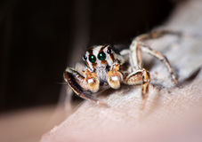 Jumping spider on dried leaf Stock Photo