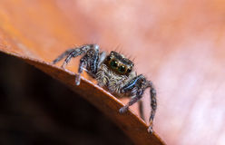Jumping spider on dried leaf in nature. Jumping spider on dried leaf Stock Image