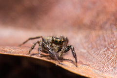 Jumping spider on dried leaf in nature. Jumping spider on dried leaf Royalty Free Stock Photos