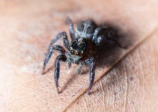Jumping spider on dried leaf in nature. Jumping spider on dried leaf Royalty Free Stock Photography
