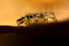 Jumping spider. On a dry leaf Stock Photography