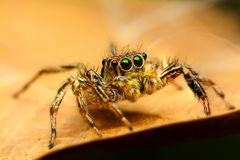 Jumping spider. On a dry leaf Royalty Free Stock Images
