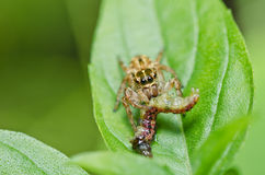 Jumping spider eat worm Royalty Free Stock Images