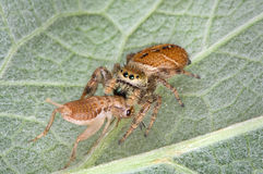 Jumping spider eating cricket. A tiny jumping spider has caught a cricket and is eating it while sitting on a leaf stock image