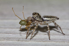 Jumping spider eating green ant Stock Photography