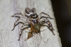 Jumping spider eating green ant Stock Photo
