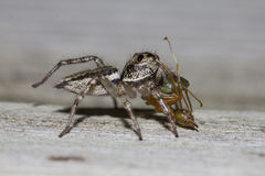 Jumping spider eating green ant Stock Images