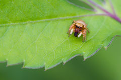 Jumping spider eating insect. On leaf stock photography