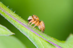 Jumping spider eating insect. On leaf royalty free stock image