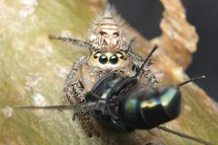 Jumping spider eating flies stock image