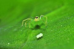 Jumping spider and egg Royalty Free Stock Photography