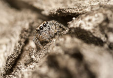 Jumping spider - Evarcha sp. Salticidae on tree bark Stock Image