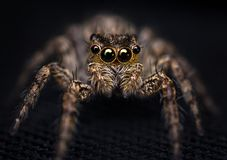 Jumping Spider. A extreme macro photography of Jumping Spider stock images