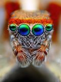 Jumping Spider Eyes Macro. Saitis barbipes, a common jumping spider found in Mediterranean regions Royalty Free Stock Photography
