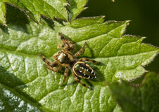 The jumping spider family (Salticidae) Stock Photo