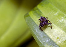 The jumping spider family (Salticidae) Royalty Free Stock Photography