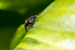The jumping spider family (Salticidae) Royalty Free Stock Photos