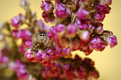 Jumping Spider family Salticidae, hidden and crouching in the flowers Stock Image