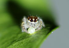 Jumping spider feeding on an egg. A small jumping spider feeding on an egg Royalty Free Stock Photos