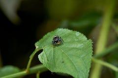 Jumping Spider Feeding Stock Image