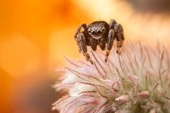 Jumping spider on fluffy plant stock image