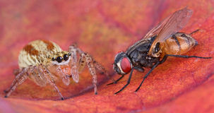 Jumping spider and fly 2. A jumping spider is sitting very close to a fly Stock Photo