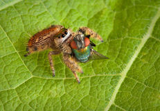 Jumping spider with fly Royalty Free Stock Photo