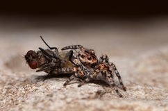 Jumping spider. With fly in nature Stock Photography