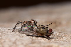 Jumping spider. With fly in nature Royalty Free Stock Photos