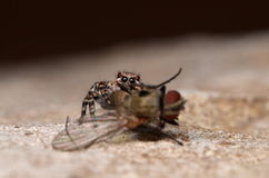 Jumping spider. With fly in nature Royalty Free Stock Images