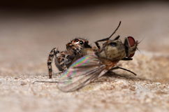 Jumping spider. With fly in nature Stock Photos