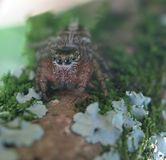 Jumping Spider with four eyes in the tree trunk. Macro photo of a jumping spider with four eyes on the tree trunk with soft background Stock Images