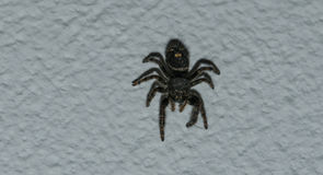Jumping Spider. Furry jumping spider on living room ceiling. Great detail in eyes and legs caught with 85mm macro lens stock photography