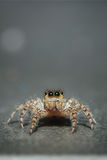 Jumping spider. On gray background. Macro photo Royalty Free Stock Photos