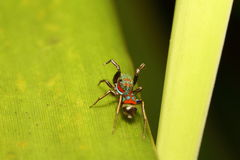 Jumping spider in the green garden Royalty Free Stock Image