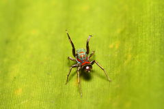 Jumping spider in the green garden Royalty Free Stock Photography