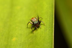 Jumping spider in the green garden Stock Photos