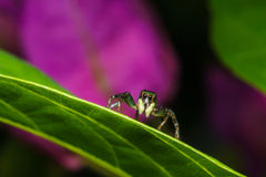 Jumping spider Royalty Free Stock Images