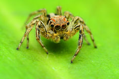 Jumping Spider. On green leaf Royalty Free Stock Images