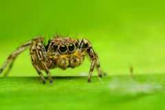 Jumping Spider. On green leaf Stock Image