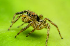 Jumping Spider. On green leaf Stock Images