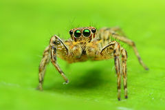 Jumping Spider. On green leaf Royalty Free Stock Photos