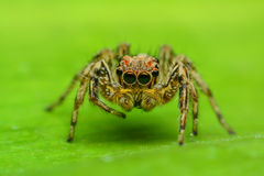 Jumping Spider. On green leaf Royalty Free Stock Photo